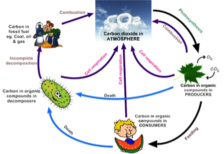 52 the greenhouse effect biology4ibdp 521 draw and label a diagram of the carbon cycle to show the processes involved ccuart Choice Image