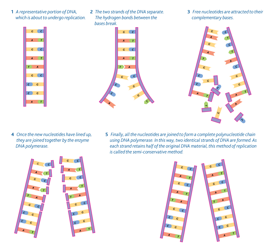 34 dna replication biology4ibdp 342 stages in dna replication malvernweather Images