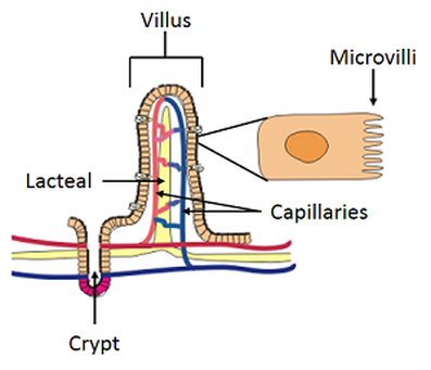 Igcse Biology 231 Describe The Structure Of A Villus And Explain
